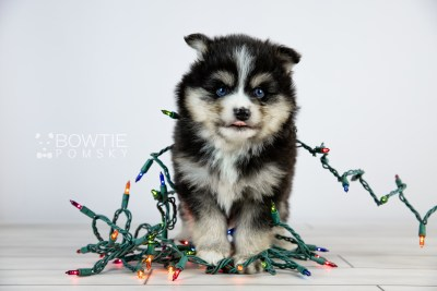 puppy111 week5 BowTiePomsky.com Bowtie Pomsky Puppy For Sale Husky Pomeranian Mini Dog Spokane WA Breeder Blue Eyes Pomskies Celebrity Puppy web6
