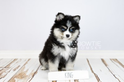 puppy111 week7 BowTiePomsky.com Bowtie Pomsky Puppy For Sale Husky Pomeranian Mini Dog Spokane WA Breeder Blue Eyes Pomskies Celebrity Puppy web1