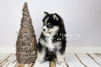 puppy111 week7 BowTiePomsky.com Bowtie Pomsky Puppy For Sale Husky Pomeranian Mini Dog Spokane WA Breeder Blue Eyes Pomskies Celebrity Puppy web3