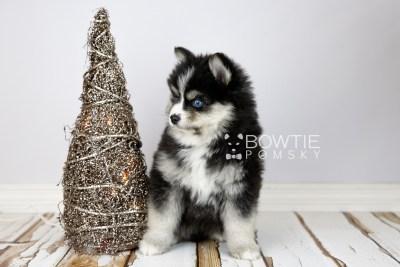 puppy111 week7 BowTiePomsky.com Bowtie Pomsky Puppy For Sale Husky Pomeranian Mini Dog Spokane WA Breeder Blue Eyes Pomskies Celebrity Puppy web3