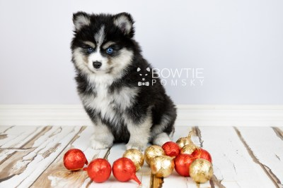 puppy111 week7 BowTiePomsky.com Bowtie Pomsky Puppy For Sale Husky Pomeranian Mini Dog Spokane WA Breeder Blue Eyes Pomskies Celebrity Puppy web5