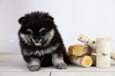 puppy112 week5 BowTiePomsky.com Bowtie Pomsky Puppy For Sale Husky Pomeranian Mini Dog Spokane WA Breeder Blue Eyes Pomskies Celebrity Puppy web4