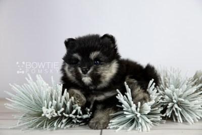 puppy112 week5 BowTiePomsky.com Bowtie Pomsky Puppy For Sale Husky Pomeranian Mini Dog Spokane WA Breeder Blue Eyes Pomskies Celebrity Puppy web5
