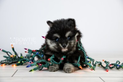 puppy112 week5 BowTiePomsky.com Bowtie Pomsky Puppy For Sale Husky Pomeranian Mini Dog Spokane WA Breeder Blue Eyes Pomskies Celebrity Puppy web6
