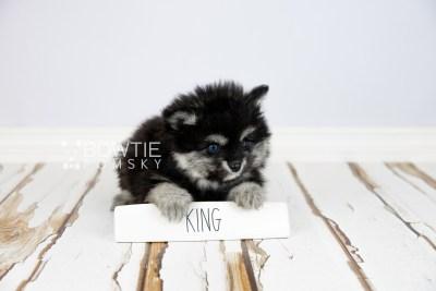puppy112 week7 BowTiePomsky.com Bowtie Pomsky Puppy For Sale Husky Pomeranian Mini Dog Spokane WA Breeder Blue Eyes Pomskies Celebrity Puppy web1