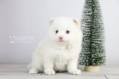 puppy113 week5 BowTiePomsky.com Bowtie Pomsky Puppy For Sale Husky Pomeranian Mini Dog Spokane WA Breeder Blue Eyes Pomskies Celebrity Puppy web2
