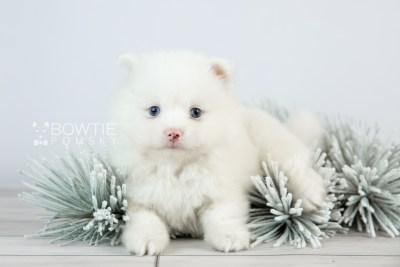 puppy113 week5 BowTiePomsky.com Bowtie Pomsky Puppy For Sale Husky Pomeranian Mini Dog Spokane WA Breeder Blue Eyes Pomskies Celebrity Puppy web5
