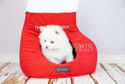 puppy113 week7 BowTiePomsky.com Bowtie Pomsky Puppy For Sale Husky Pomeranian Mini Dog Spokane WA Breeder Blue Eyes Pomskies Celebrity Puppy web4