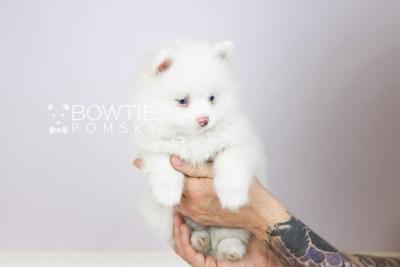 puppy113 week7 BowTiePomsky.com Bowtie Pomsky Puppy For Sale Husky Pomeranian Mini Dog Spokane WA Breeder Blue Eyes Pomskies Celebrity Puppy web6