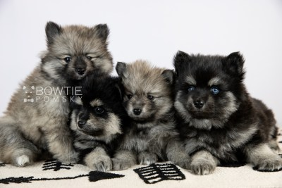 puppy114-117 week5 BowTiePomsky.com Bowtie Pomsky Puppy For Sale Husky Pomeranian Mini Dog Spokane WA Breeder Blue Eyes Pomskies Celebrity Puppy web2
