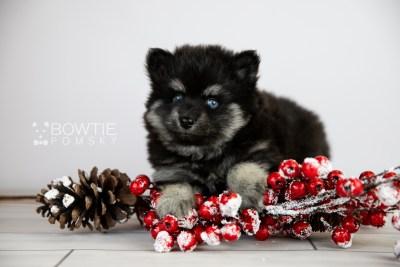puppy114 week5 BowTiePomsky.com Bowtie Pomsky Puppy For Sale Husky Pomeranian Mini Dog Spokane WA Breeder Blue Eyes Pomskies Celebrity Puppy web3