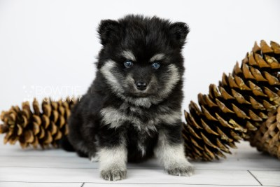 puppy114 week5 BowTiePomsky.com Bowtie Pomsky Puppy For Sale Husky Pomeranian Mini Dog Spokane WA Breeder Blue Eyes Pomskies Celebrity Puppy web4