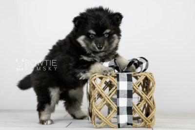 puppy114 week5 BowTiePomsky.com Bowtie Pomsky Puppy For Sale Husky Pomeranian Mini Dog Spokane WA Breeder Blue Eyes Pomskies Celebrity Puppy web6