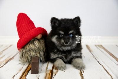 puppy114 week7 BowTiePomsky.com Bowtie Pomsky Puppy For Sale Husky Pomeranian Mini Dog Spokane WA Breeder Blue Eyes Pomskies Celebrity Puppy web1
