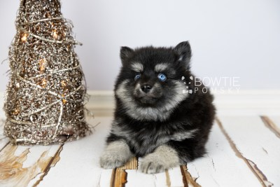 puppy114 week7 BowTiePomsky.com Bowtie Pomsky Puppy For Sale Husky Pomeranian Mini Dog Spokane WA Breeder Blue Eyes Pomskies Celebrity Puppy web2