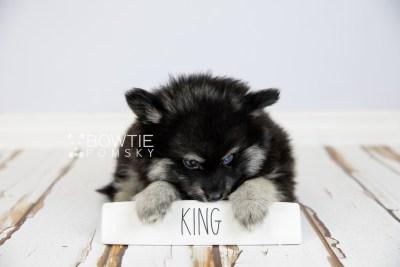 puppy114 week7 BowTiePomsky.com Bowtie Pomsky Puppy For Sale Husky Pomeranian Mini Dog Spokane WA Breeder Blue Eyes Pomskies Celebrity Puppy web3