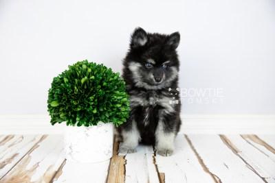 puppy114 week7 BowTiePomsky.com Bowtie Pomsky Puppy For Sale Husky Pomeranian Mini Dog Spokane WA Breeder Blue Eyes Pomskies Celebrity Puppy web4