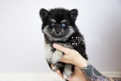 puppy114 week7 BowTiePomsky.com Bowtie Pomsky Puppy For Sale Husky Pomeranian Mini Dog Spokane WA Breeder Blue Eyes Pomskies Celebrity Puppy web6