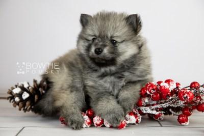 puppy115 week5 BowTiePomsky.com Bowtie Pomsky Puppy For Sale Husky Pomeranian Mini Dog Spokane WA Breeder Blue Eyes Pomskies Celebrity Puppy web3