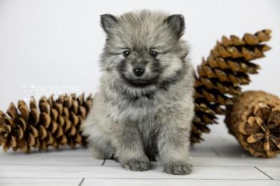 puppy115 week5 BowTiePomsky.com Bowtie Pomsky Puppy For Sale Husky Pomeranian Mini Dog Spokane WA Breeder Blue Eyes Pomskies Celebrity Puppy web4