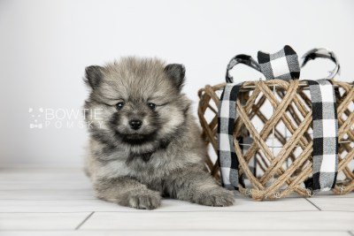 puppy115 week5 BowTiePomsky.com Bowtie Pomsky Puppy For Sale Husky Pomeranian Mini Dog Spokane WA Breeder Blue Eyes Pomskies Celebrity Puppy web6