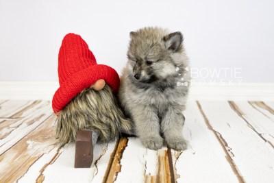 puppy115 week7 BowTiePomsky.com Bowtie Pomsky Puppy For Sale Husky Pomeranian Mini Dog Spokane WA Breeder Blue Eyes Pomskies Celebrity Puppy web1