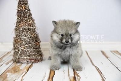 puppy115 week7 BowTiePomsky.com Bowtie Pomsky Puppy For Sale Husky Pomeranian Mini Dog Spokane WA Breeder Blue Eyes Pomskies Celebrity Puppy web2