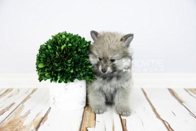 puppy115 week7 BowTiePomsky.com Bowtie Pomsky Puppy For Sale Husky Pomeranian Mini Dog Spokane WA Breeder Blue Eyes Pomskies Celebrity Puppy web4