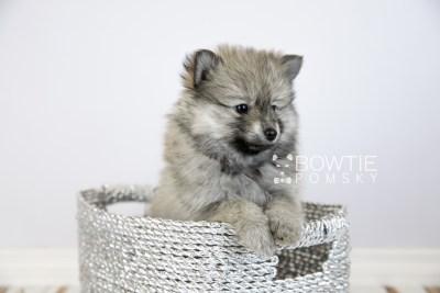 puppy115 week7 BowTiePomsky.com Bowtie Pomsky Puppy For Sale Husky Pomeranian Mini Dog Spokane WA Breeder Blue Eyes Pomskies Celebrity Puppy web5