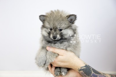 puppy115 week7 BowTiePomsky.com Bowtie Pomsky Puppy For Sale Husky Pomeranian Mini Dog Spokane WA Breeder Blue Eyes Pomskies Celebrity Puppy web6