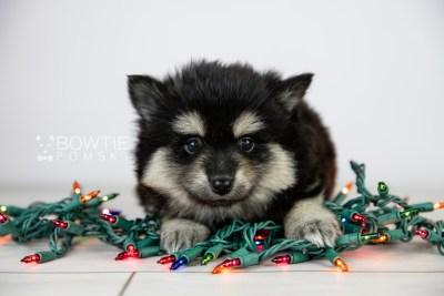 puppy116 week5 BowTiePomsky.com Bowtie Pomsky Puppy For Sale Husky Pomeranian Mini Dog Spokane WA Breeder Blue Eyes Pomskies Celebrity Puppy web2