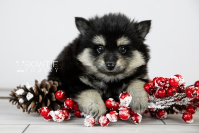 puppy116 week5 BowTiePomsky.com Bowtie Pomsky Puppy For Sale Husky Pomeranian Mini Dog Spokane WA Breeder Blue Eyes Pomskies Celebrity Puppy web3