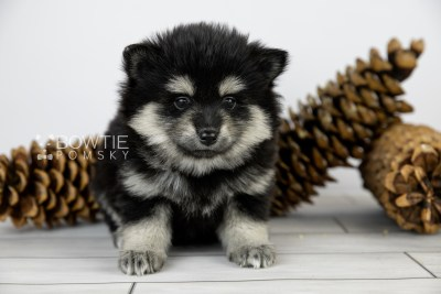 puppy116 week5 BowTiePomsky.com Bowtie Pomsky Puppy For Sale Husky Pomeranian Mini Dog Spokane WA Breeder Blue Eyes Pomskies Celebrity Puppy web4