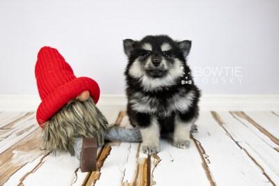 puppy116 week7 BowTiePomsky.com Bowtie Pomsky Puppy For Sale Husky Pomeranian Mini Dog Spokane WA Breeder Blue Eyes Pomskies Celebrity Puppy web1
