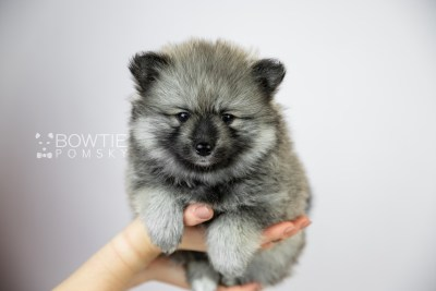 puppy117 week5 BowTiePomsky.com Bowtie Pomsky Puppy For Sale Husky Pomeranian Mini Dog Spokane WA Breeder Blue Eyes Pomskies Celebrity Puppy web1