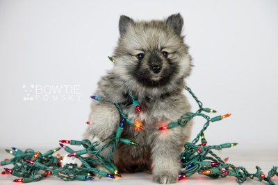 puppy117 week5 BowTiePomsky.com Bowtie Pomsky Puppy For Sale Husky Pomeranian Mini Dog Spokane WA Breeder Blue Eyes Pomskies Celebrity Puppy web2