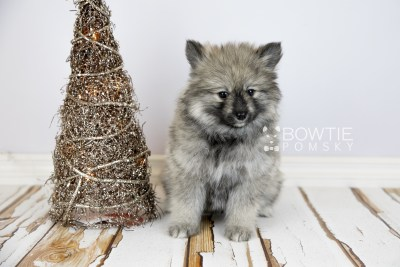 puppy117 week7 BowTiePomsky.com Bowtie Pomsky Puppy For Sale Husky Pomeranian Mini Dog Spokane WA Breeder Blue Eyes Pomskies Celebrity Puppy web2