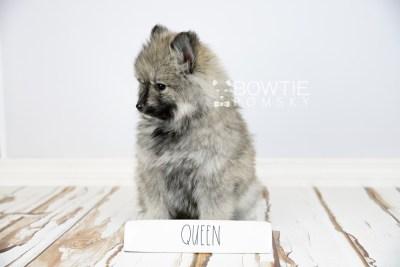 puppy117 week7 BowTiePomsky.com Bowtie Pomsky Puppy For Sale Husky Pomeranian Mini Dog Spokane WA Breeder Blue Eyes Pomskies Celebrity Puppy web3