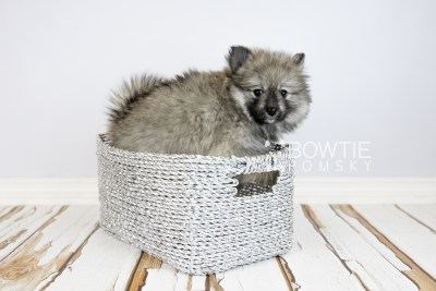 puppy117 week7 BowTiePomsky.com Bowtie Pomsky Puppy For Sale Husky Pomeranian Mini Dog Spokane WA Breeder Blue Eyes Pomskies Celebrity Puppy web5