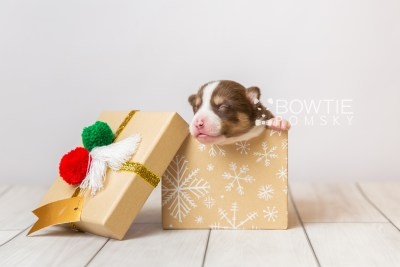puppy118 week1 BowTiePomsky.com Bowtie Pomsky Puppy For Sale Husky Pomeranian Mini Dog Spokane WA Breeder Blue Eyes Pomskies Celebrity Puppy web1