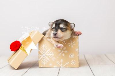 puppy119 week1 BowTiePomsky.com Bowtie Pomsky Puppy For Sale Husky Pomeranian Mini Dog Spokane WA Breeder Blue Eyes Pomskies Celebrity Puppy web1