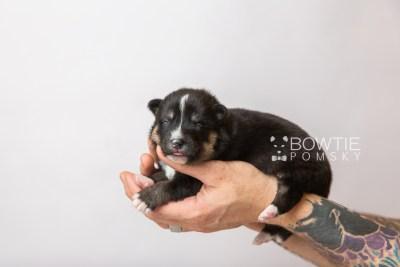 puppy120 week1 BowTiePomsky.com Bowtie Pomsky Puppy For Sale Husky Pomeranian Mini Dog Spokane WA Breeder Blue Eyes Pomskies Celebrity Puppy web3