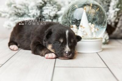 puppy120 week1 BowTiePomsky.com Bowtie Pomsky Puppy For Sale Husky Pomeranian Mini Dog Spokane WA Breeder Blue Eyes Pomskies Celebrity Puppy web5