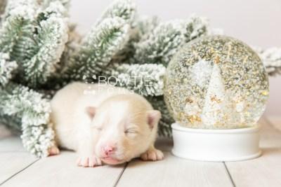 puppy123 week1 BowTiePomsky.com Bowtie Pomsky Puppy For Sale Husky Pomeranian Mini Dog Spokane WA Breeder Blue Eyes Pomskies Celebrity Puppy web5