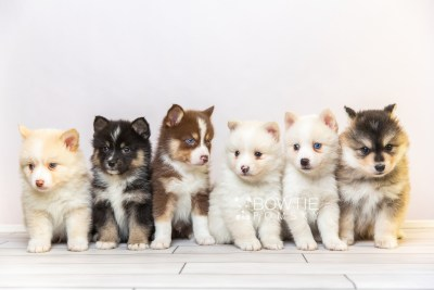 puppy118-123 week5 BowTiePomsky.com Bowtie Pomsky Puppy For Sale Husky Pomeranian Mini Dog Spokane WA Breeder Blue Eyes Pomskies Celebrity Puppy web1