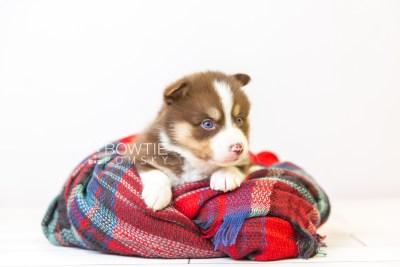 puppy118 week3 BowTiePomsky.com Bowtie Pomsky Puppy For Sale Husky Pomeranian Mini Dog Spokane WA Breeder Blue Eyes Pomskies Celebrity Puppy web-size web1