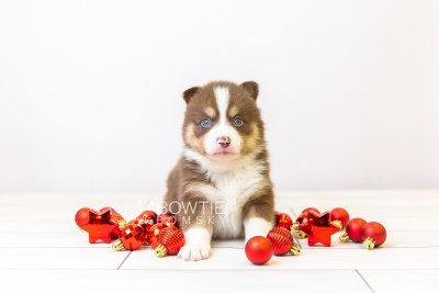 puppy118 week3 BowTiePomsky.com Bowtie Pomsky Puppy For Sale Husky Pomeranian Mini Dog Spokane WA Breeder Blue Eyes Pomskies Celebrity Puppy web-size web2