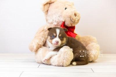 puppy118 week3 BowTiePomsky.com Bowtie Pomsky Puppy For Sale Husky Pomeranian Mini Dog Spokane WA Breeder Blue Eyes Pomskies Celebrity Puppy web-size web5