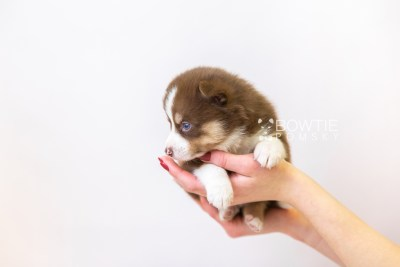 puppy118 week3 BowTiePomsky.com Bowtie Pomsky Puppy For Sale Husky Pomeranian Mini Dog Spokane WA Breeder Blue Eyes Pomskies Celebrity Puppy web-size web6