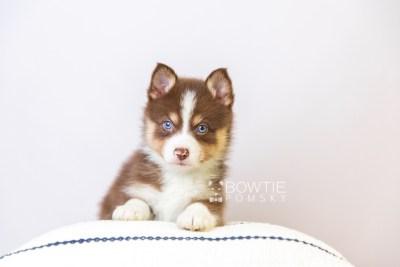 puppy118 week5 BowTiePomsky.com Bowtie Pomsky Puppy For Sale Husky Pomeranian Mini Dog Spokane WA Breeder Blue Eyes Pomskies Celebrity Puppy web4
